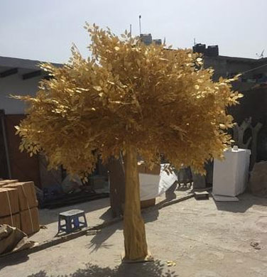 Golden Ficus tree