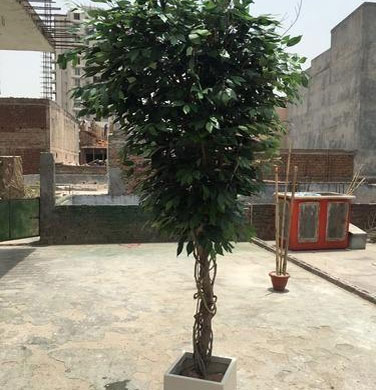 Ficus Tree For Office Or Mall